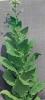tobaccoplant3.jpg